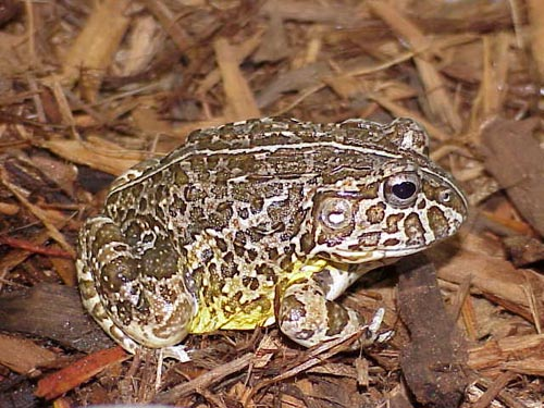 Confronted with an antagonistic speaker, a male frog will generally approach it, and occasionally hop on top but the animals never attack the speaker, says Chile RPCV Peter Narins