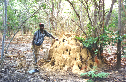 Guinea Peace Corps Volunteer Frank writes:  Ant Armies