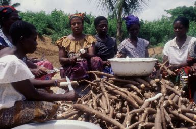 Getting the genetically engineered cassava into the ground in Africa is the job of Mauritania RPCV Lawrence Kent, a Danforth Center nonscientist whose job depends on this science being put to use