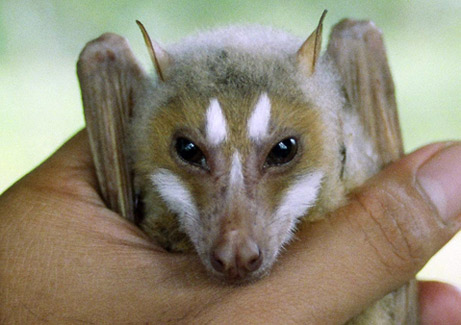 Philippines RPCV Jake Esselstyn nets a new fruit bat species