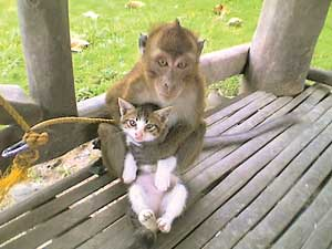 Philippines Peace corps Volunteer Tom Gaff writes: The Monkey and the Cat