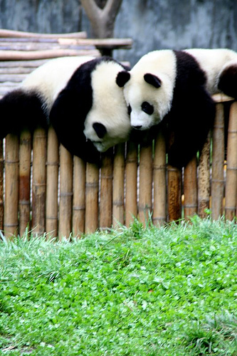 China RPCV Craig Simons writes: Wolong today is home to the largest cluster of the world's remaining wild pandas