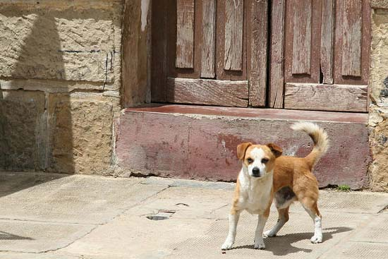 Bolivia RPCV writes: In most of the world, every dog has its day; in Tarija, Bolivia�s sixth largest city, they get a week�and then some