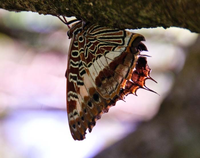 Madagascar RPCV and lepidopterist Maya Moore has helped to develop an inspired project which combines forest recovery with butterfly farming
