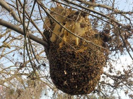 Chile RPCV Fred Michaelis rescues huge hive from tree in Merced